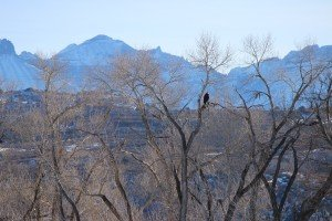 Bald Eagles in Colorado Natural Habitat - Atha Team Blog